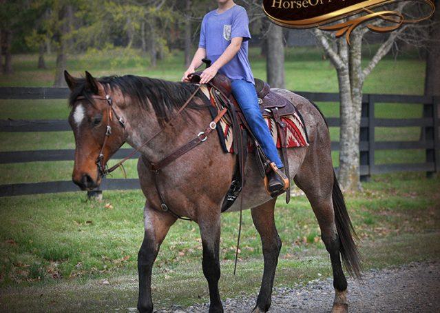 036-Levi-Bay-Roan-Quarter-Horse-For-Sale