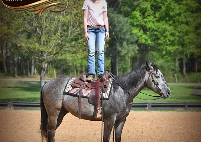 014-Storm-Gray-Quarter-Horse-Gelding-For-Sale