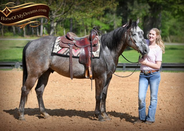 017-Storm-Gray-Quarter-Horse-Gelding-For-Sale