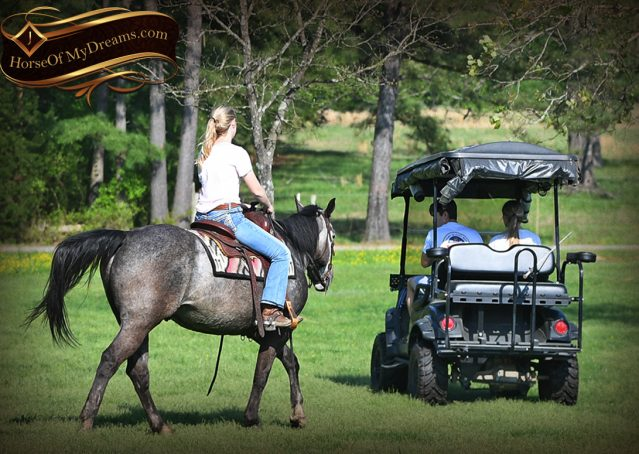 031-Storm-Gray-Quarter-Horse-Gelding-For-Sale