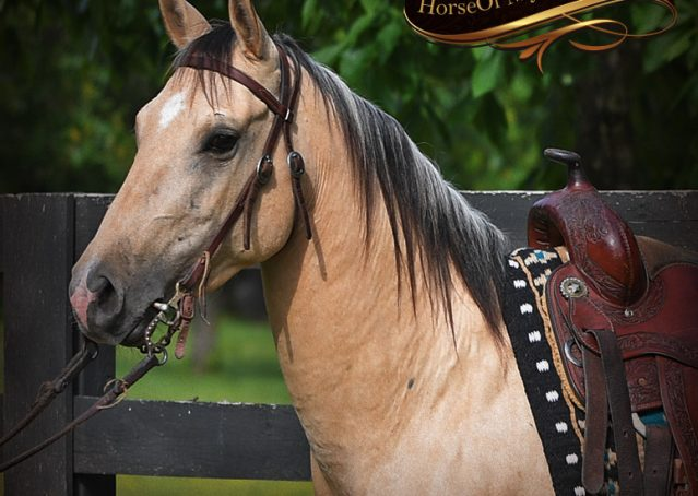 001-Prince-AQHA-Buttermilk-Buckskin-Quarter-Horse-Gelding-For-Sale