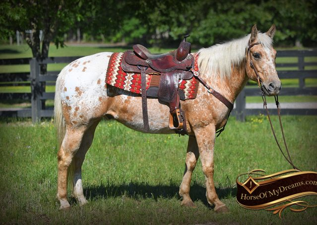 001-Regis-Palomino-Appaloosa-Gelding-For-Sale