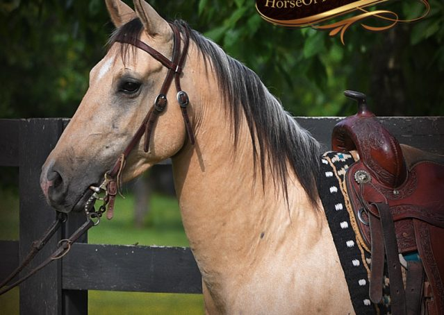 002-Prince-AQHA-Buttermilk-Buckskin-Quarter-Horse-Gelding-For-Sale