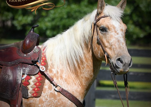 002-Regis-Palomino-Appaloosa-Gelding-For-Sale
