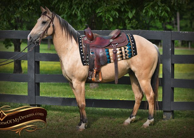 003-Prince-AQHA-Buttermilk-Buckskin-Quarter-Horse-Gelding-For-Sale