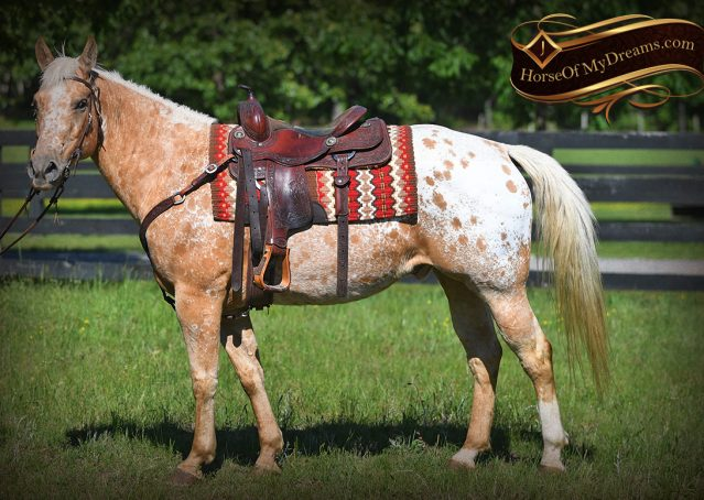 003-Regis-Palomino-Appaloosa-Gelding-For-Sale