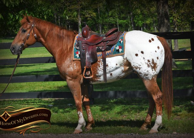 003-Sid-Appaloosa-gelding-for-sale
