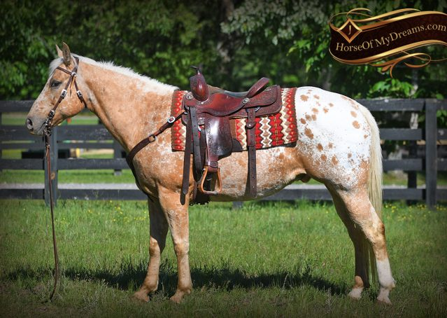 004-Regis-Palomino-Appaloosa-Gelding-For-Sale