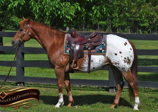 004-Sid-Appaloosa-gelding-for-sale