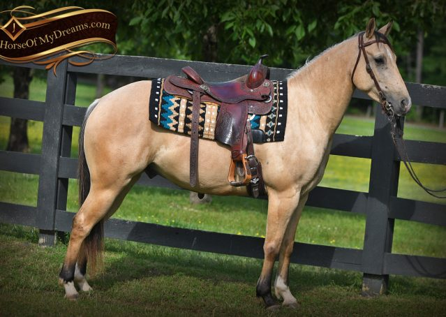 005-Prince-AQHA-Buttermilk-Buckskin-Quarter-Horse-Gelding-For-Sale