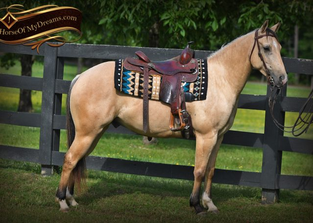 006-Prince-AQHA-Buttermilk-Buckskin-Quarter-Horse-Gelding-For-Sale