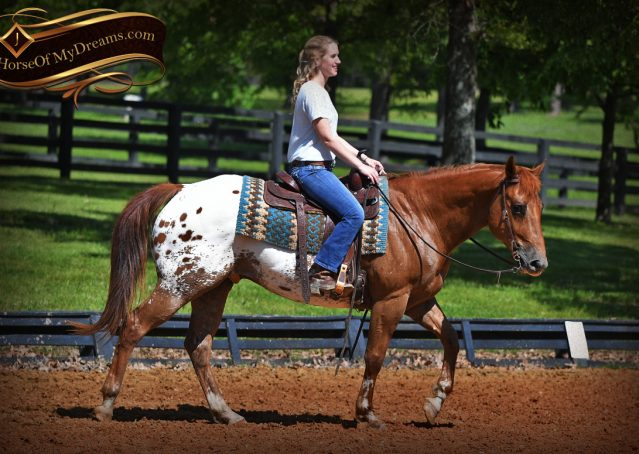 012-Sid-Appaloosa-gelding-for-sale