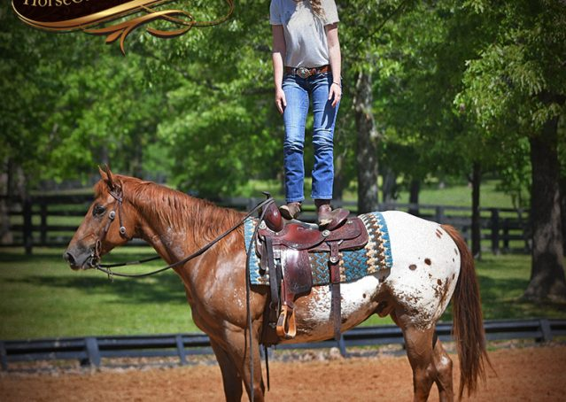 013-Sid-Appaloosa-gelding-for-sale