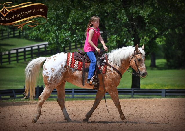 016-Regis-Palomino-Appaloosa-Gelding-For-Sale