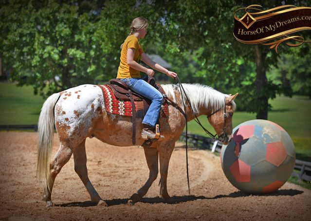 026-Regis-Palomino-Appaloosa-Gelding-For-Sale