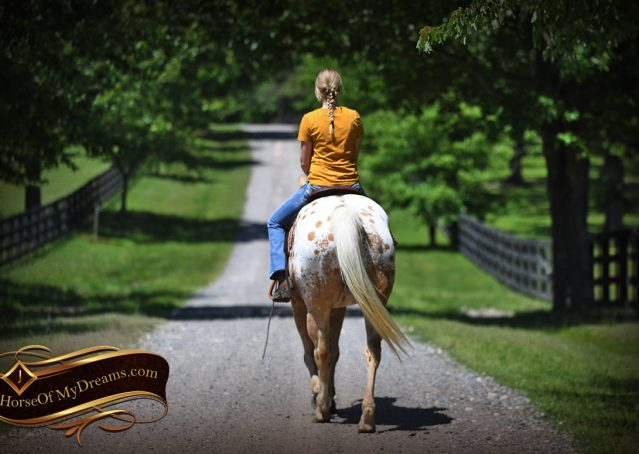 029-Regis-Palomino-Appaloosa-Gelding-For-Sale