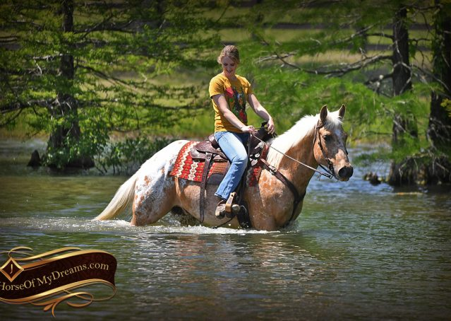 033-Regis-Palomino-Appaloosa-Gelding-For-Sale