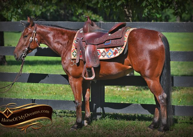 001-Beck-Bay-AQHA-Gelding-horse-For-Sale