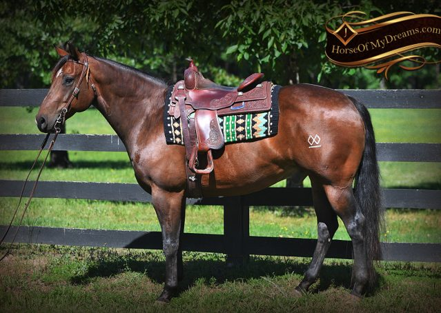 001-Sheldon-Bay-AQHA-Gorgeous-Ranch-Gelding-For-Sale