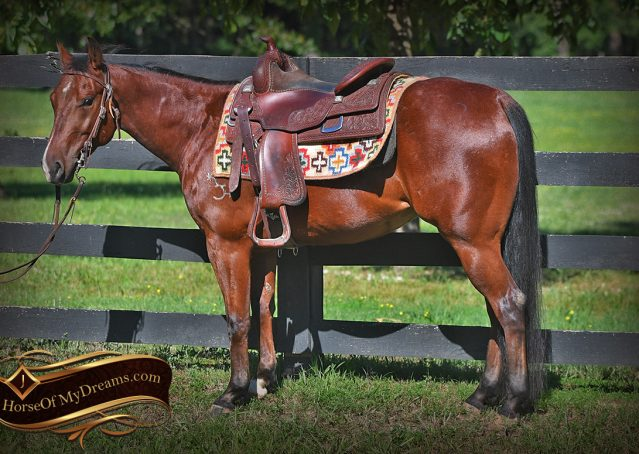 002-Beck-Bay-AQHA-Gelding-horse-For-Sale