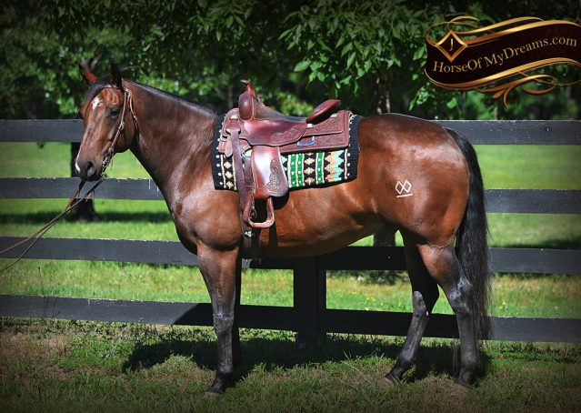 002-Sheldon-Bay-AQHA-Gorgeous-Ranch-Gelding-For-Sale