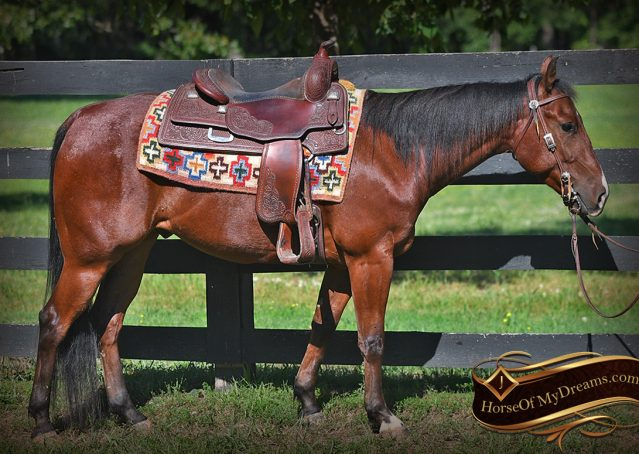 003-Beck-Bay-AQHA-Gelding-horse-For-Sale