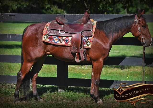 004-Beck-Bay-AQHA-Gelding-horse-For-Sale
