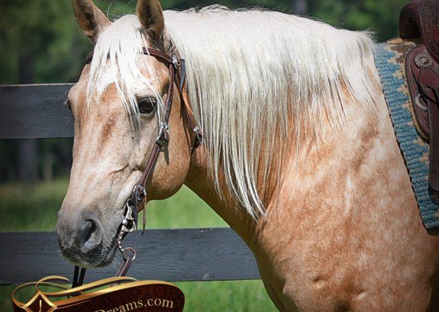 004-Big-Vegas-Palomino-Quarter-Horse-Gelding-For-Sale