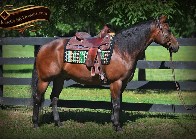 004-Sheldon-Bay-AQHA-Gorgeous-Ranch-Gelding-For-Sale