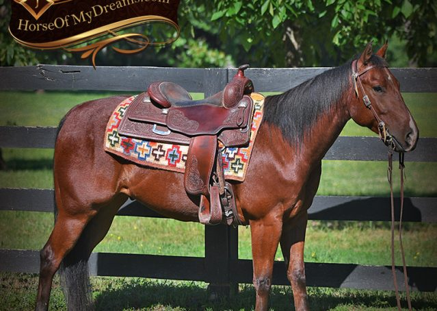 005-Beck-Bay-AQHA-Gelding-horse-For-Sale