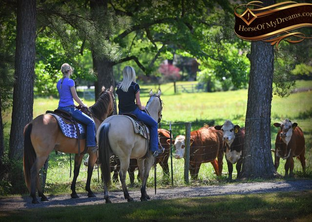012-Prince-AQHA-Buttermilk-Buckskin-Quarter-Horse-Gelding-For-Sale
