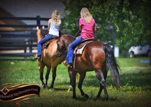 013-Sheldon-Bay-AQHA-Gelding-horse-For-Sale