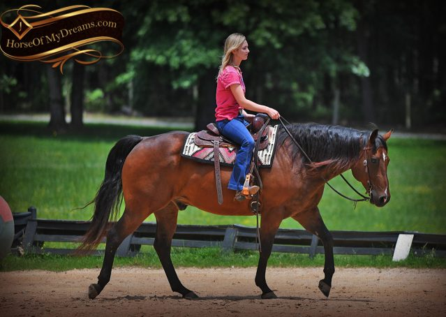 015-Sheldon-Bay-AQHA-Gelding-horse-For-Sale