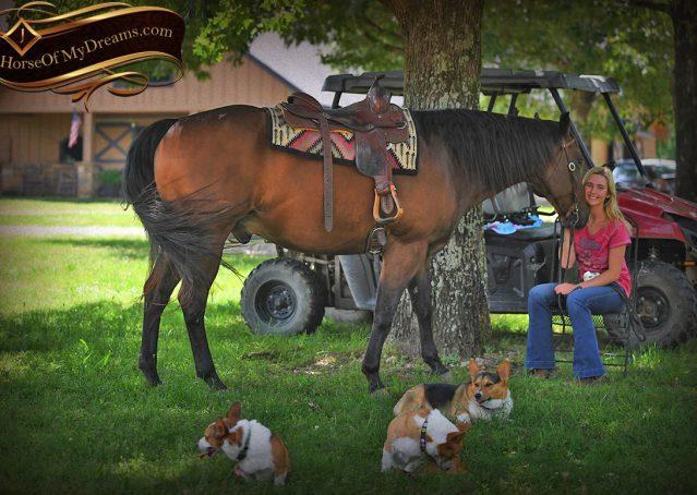 023-Sheldon-Bay-AQHA-Gelding-horse-For-Sale