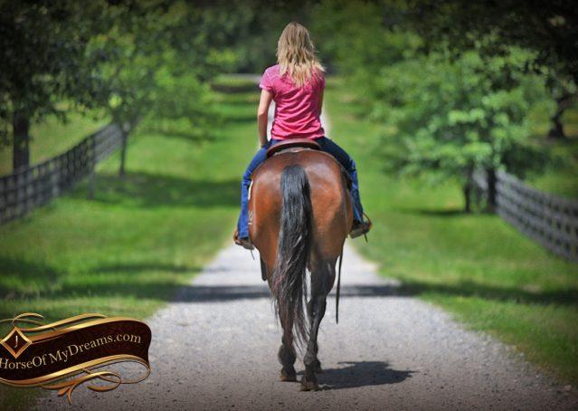 024-Sheldon-Bay-AQHA-Gelding-horse-For-Sale