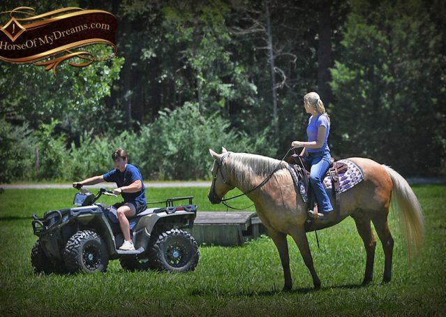 027-Big-Vegas-Palomino-Quarter-Horse-Gelding-For-Sale