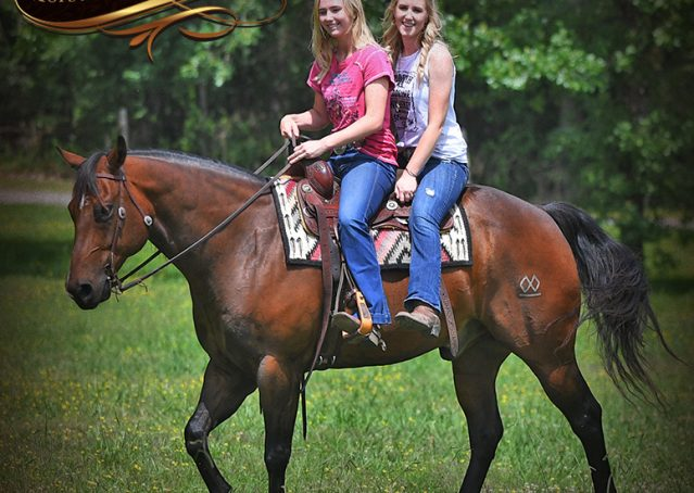 031-Sheldon-Bay-AQHA-Gelding-horse-For-Sale