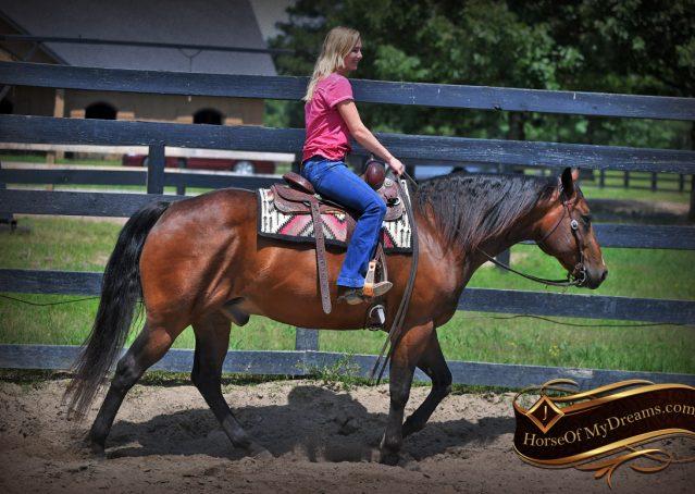 032-Sheldon-Bay-AQHA-Gelding-horse-For-Sale