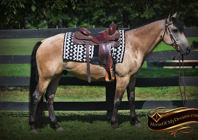 006-Ranger-Buckskin-Quarter-Horse-Gelding-For-Sale