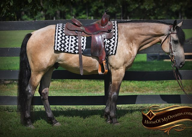 007-Ranger-Buckskin-Quarter-Horse-Gelding-For-Sale