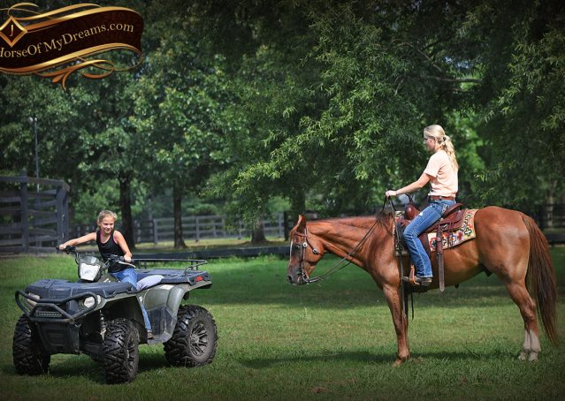 026-Beau-Sorrel-AQHA-Gelding-For-Sale