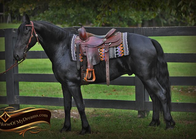 001-Carbon-Black-Friesian-Cross-Gelding-For-Sale