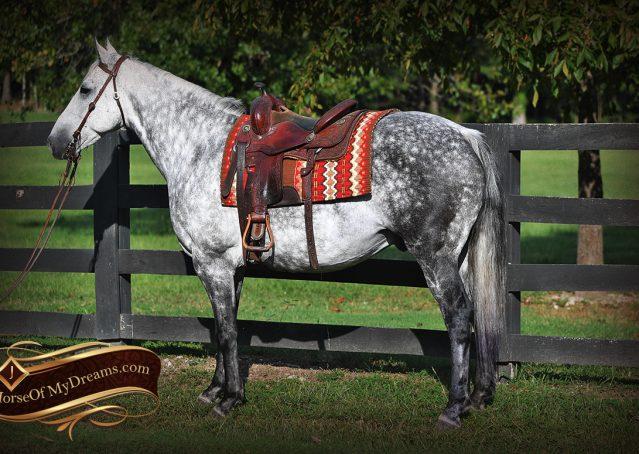 001-Mercury-Dapple-Grey-Percheron-draft-cross-gelding-for-sale