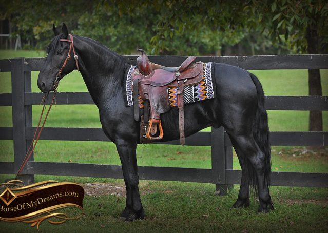002-Carbon-Black-Friesian-Cross-Gelding-For-Sale