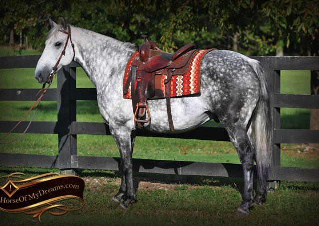 002-Mercury-Dapple-Grey-Percheron-draft-cross-gelding-for-sale