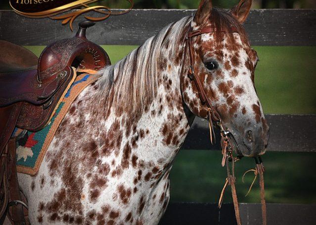 002-Sully-Leopard-appaloosa-POA-kids-pony-fancy-for-sale