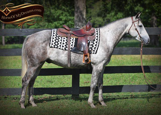 002-Zander-AQHA-Grey-Gelding-For-Sale
