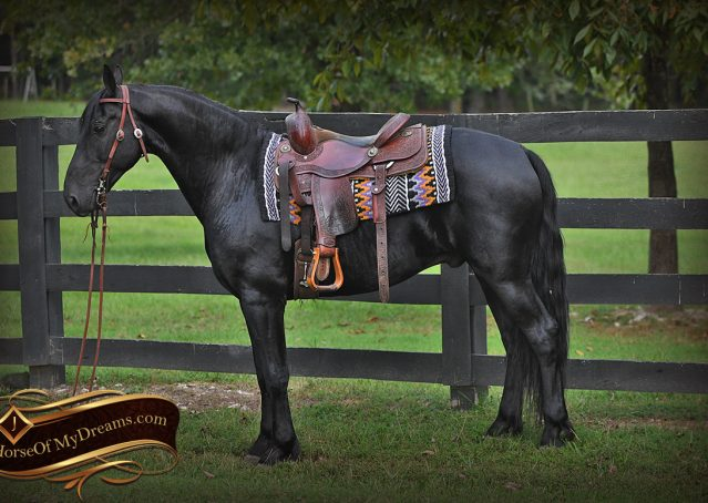 003-Carbon-Black-Friesian-Cross-Gelding-For-Sale