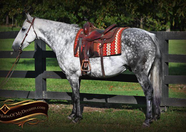 003-Mercury-Dapple-Grey-Percheron-draft-cross-gelding-for-sale