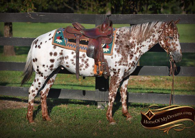 003-Sully-Leopard-appaloosa-POA-kids-pony-fancy-for-sale